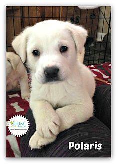Great Pyrenees/Labrador Retriever Mix Puppy for adoption in Plainfield, Illinois - Polaris