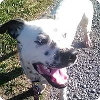 Adopt A Pet :: Domino - Staunton, VA