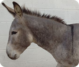 Donkey/Mule/Burro/Hinny Mix for adoption in Newcastle, California - Cisco