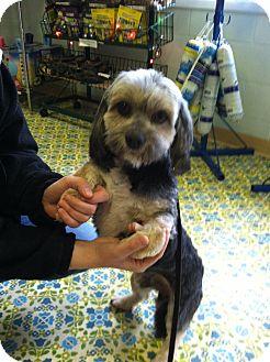 Havanese/Lhasa Apso Mix Dog for adoption in Sheridan, Oregon - Michael