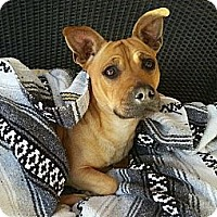 Adopt A Pet :: Scrappy Doo - Gilbert, AZ