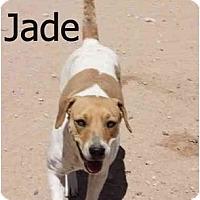 Adopt A Pet :: Jade - Gilbert, AZ