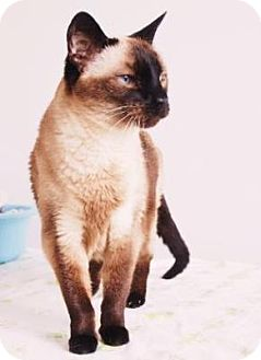 Siamese Cat Adoption Denver