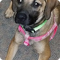 Adopt A Pet :: Daisy - North Little Rock, AR