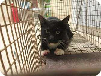 Domestic Shorthair Cat for adoption in Cumming, Georgia - Sperry