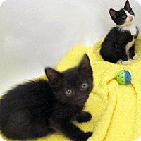 Adopt A Pet :: Persian Mix Polydactyl's Plus Kittens! - Brooklyn, NY