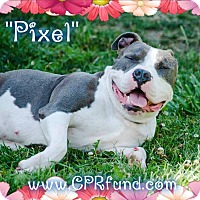 Adopt A Pet :: Pixel - Lowell, IN