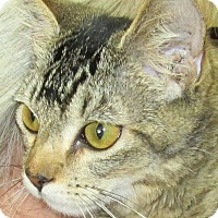 Domestic Shorthair Cat for adoption in Buhl, Idaho - Longtail
