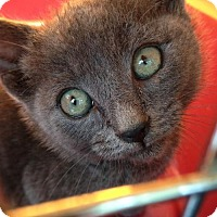 Russian Blue Kitten for adoption in Westlake, California - ASHLEY