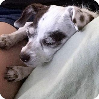 Chihuahua Mix Dog for adoption in San Juan Capistrano, California - Charlie