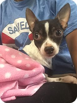 Chihuahua Mix Dog for adoption in Philadelphia, Pennsylvania - Bango