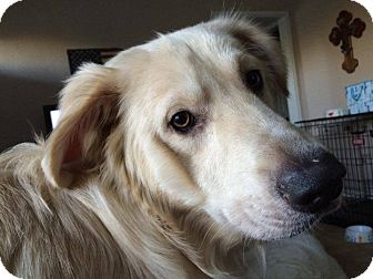 Great Pyrenees Mix Dog for adoption in Ascutney, Vermont - Jackson - Adopted!