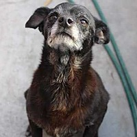 Chihuahua Mix Dog for adoption in Lakewood, California - Lola