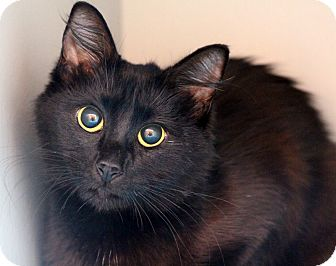 Domestic Mediumhair Cat for adoption in Sarasota, Florida - Nimbis