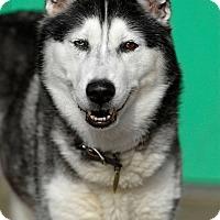 Husky Dog for adoption in Pottsville, Pennsylvania - Helen