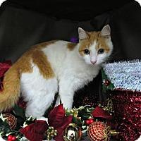 Domestic Shorthair Cat for adoption in Herndon, Virginia - Girl
