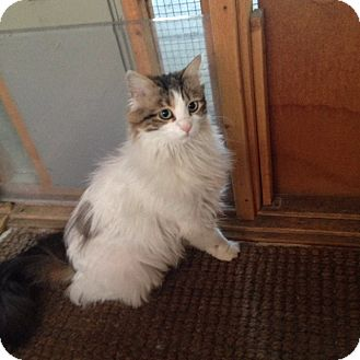 Maine Coon Cat for adoption in Sherman Oaks, California - Cassie