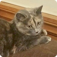 Domestic Shorthair Kitten for adoption in Hamilton, Ontario - Cricket