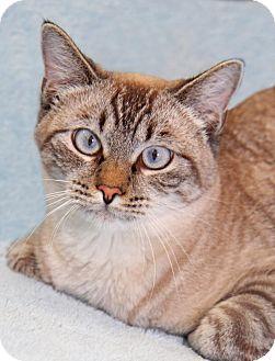 Siamese Cat for adoption in Encinitas, California - Snow Moon