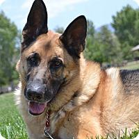 Adopt A Pet :: Scooby - Altadena, CA