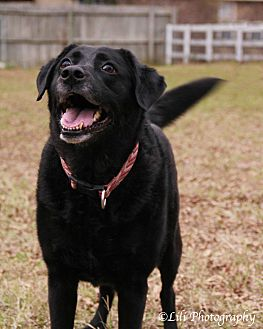 Labrador Retriever/Springer Spaniel Mix Dog for adoption in Warner Robins, Georgia - Lucy