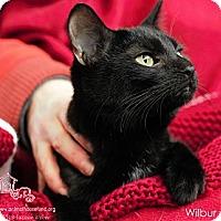 Domestic Shorthair Cat for adoption in St Louis, Missouri - Wilbur