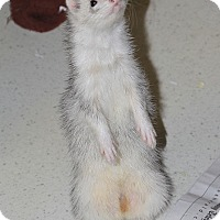 Adopt A Pet :: Loki - Buxton, ME