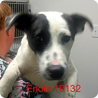 Adopt A Pet :: Enola - baltimore, MD