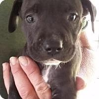 Adopt A Pet :: Jalepeno - Gainesville, FL
