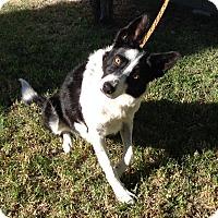 Adopt A Pet :: AYLA - San Pedro, CA