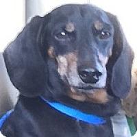 Adopt A Pet :: Ike Idol - Houston, TX