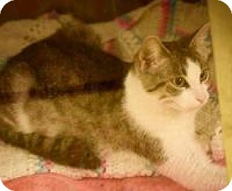 Domestic Shorthair Cat for adoption in Dallas, Texas - Cleopatra
