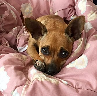 Miniature Pinscher/Chihuahua Mix Dog for adoption in Walnut Creek, California - Coco