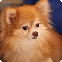 Adopt A Pet :: Fiat/Fifi - Waldorf, MD