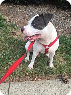 Staffordshire Bull Terrier Mix Dog for adoption in Raleigh, North Carolina - Charlie Murphy