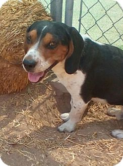 Beagle Dog for adoption in Apple Valley, California - Bear-ADOPTED 10/2/16