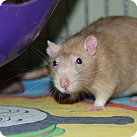 Rat for adoption in Brooklyn, New York - Weasley boys