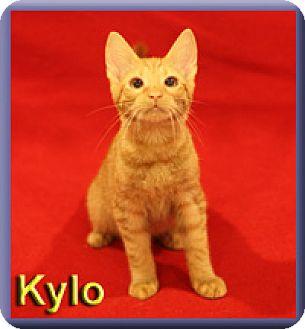 Domestic Shorthair Kitten for adoption in Aldie, Virginia - Kylo