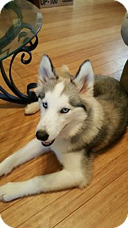 Siberian Husky Mix Puppy for adoption in Clay, Alabama - Amera