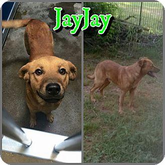 Golden Retriever/Labrador Retriever Mix Dog for adoption in Arlington, Texas - JayJay