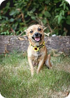 Chihuahua Mix Dog for adoption in greenville, South Carolina - Coco