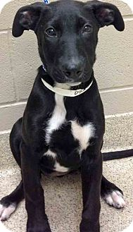 Labrador Retriever Mix Puppy for adoption in Shorewood, Illinois - Moved to Oswego Ursula