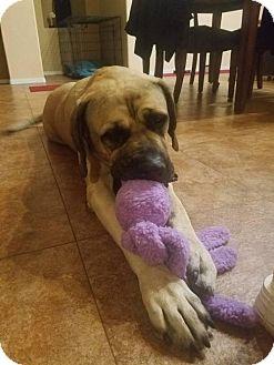 Mastiff Dog for adoption in Goodyear, Arizona - Mabel