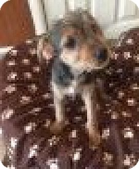 Beagle/Yorkie, Yorkshire Terrier Mix Puppy for adoption in Livonia, Michigan - Rq litter - Savannah - APPLICATIONS CLOSED