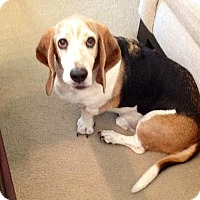 Basset Hound Dog for adoption in Grapevine, Texas - Charlie
