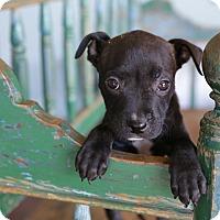 Adopt A Pet :: Cheyenne - San Antonio, TX