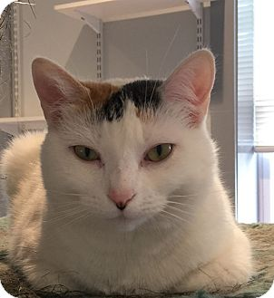 Calico Cat for adoption in Lafayette, New Jersey - Lexi
