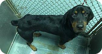 Rottweiler Mix Dog for adoption in Pomfret, Connecticut - Spencer