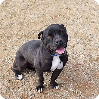 American Staffordshire Terrier Mix Dog for adoption in Sierra Vista, Arizona - Buddy