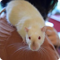 Rat for adoption in Vancouver, British Columbia - Smudge